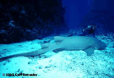 A nurse shark photographed off the coast of Australia