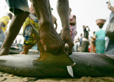 A fisherman cuts the fins off of a shark at the fish market in Abobodoume. The fins of the shark are dried and then exported to Asian countries, notably China and Japan.