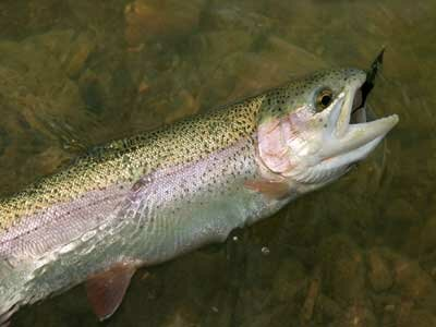 That trout's nociceptors are probably firing like crazy.