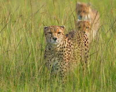 Some Earthwatch research focuses on African wildlife, like this cheetah. See more pictures of African animals.