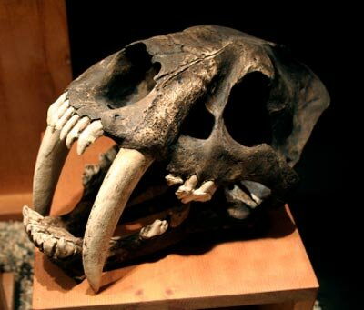 Fossilized bones of saber-tooth cats are a primary source of information about how they may have behaved.