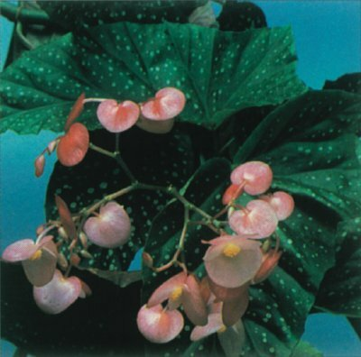 All begonia varieties have asymmetrical leaves, often earlike in shape. See more pictures of house plants.