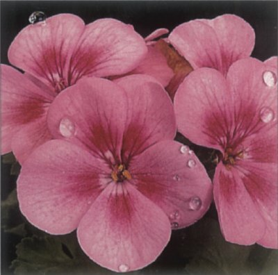 Zonal geranium works well as a house plant with clusters of flowers in several colors.