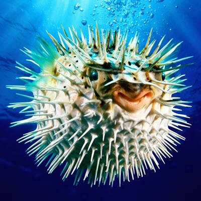 Does this pufferfish look tasty to you?