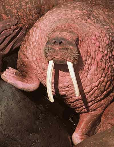 A walrus's dense layer of fat helps it to survive temperatures well below freezing. You can tell this walrus is quite warm by its pink skin.