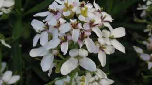 Candytuft A Profile Of A Perennial Flower Howstuffworks