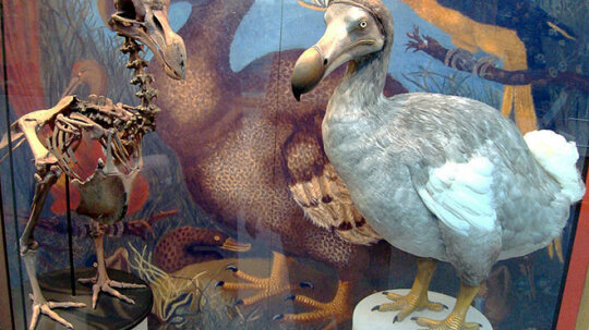 Could scientists resurrect the dodo bird?