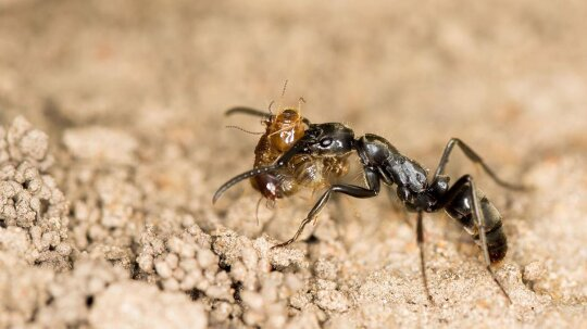African Ant GPS Finds Fastest Route Home