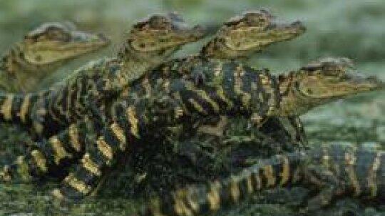 Alligator Pictures