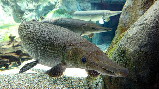 Alligator Gar: 100 Million Years Old and Still Kicking