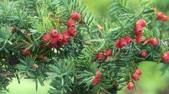 American Yew