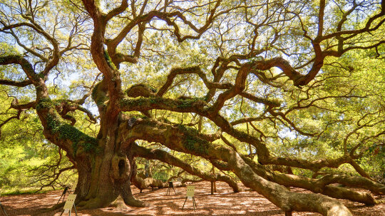 Massive 'Angel Oak' Has Witnessed 500 Years of South Carolina History