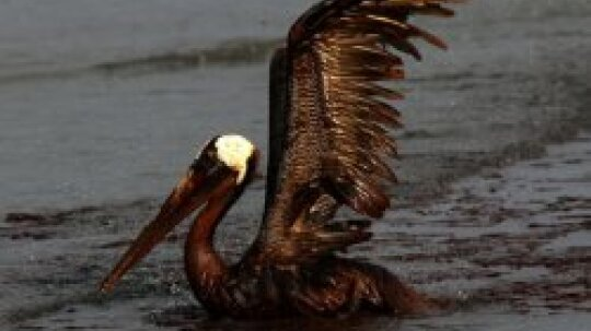 Animals Covered in Oil: Gulf Oil Spill Pictures