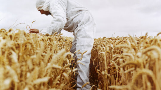 Is all of today's wheat technically artificial?
