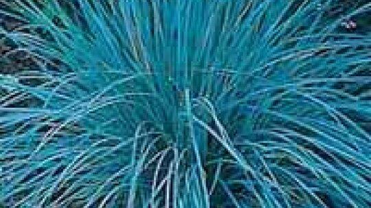 Avena Grass