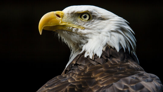 How did the bald eagle get delisted as an endangered species?