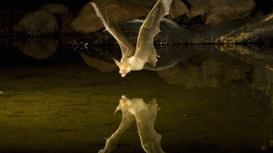 Do bats jam each other's sonar?