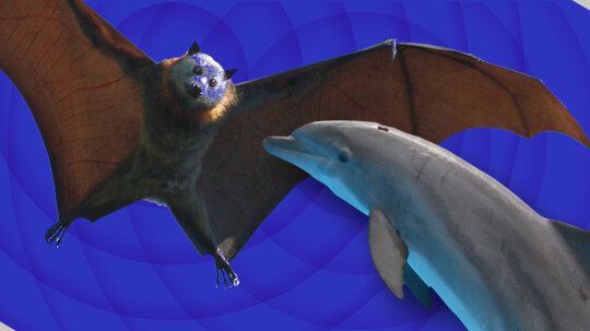 Battle of the Best Sonar: 'Team Dolphin' vs. 'Team Bat'