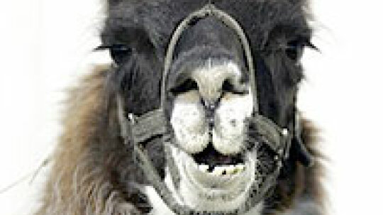 How can llamas help defeat biological weapons?
