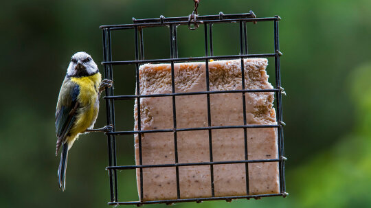 Why Is Suet Used in Birdfeed?