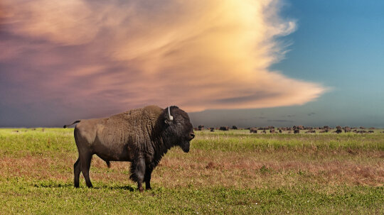 What brought bison back from the brink of extinction?