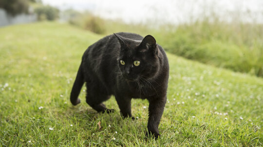 Why are black cats considered unlucky?