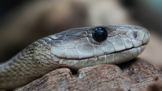 Don't Mess With the Black Mamba, One of the Deadliest Snakes Alive