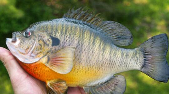 Top 4 Bluegill Fishing Tips