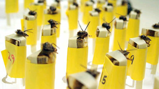 How can you train honeybees to sniff for bombs?