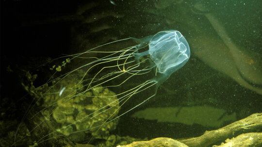 Box Jellyfish: World's Most Venomous Sea Creature