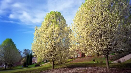 What's That Smell? It's the Dreaded Bradford Pear