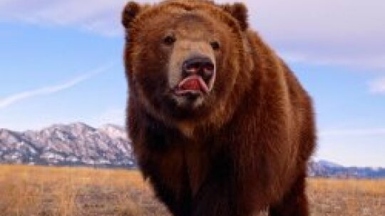 Brown Bear Pictures