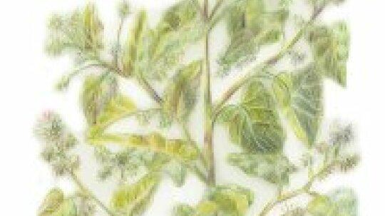 Burdock: Herbal Remedies
