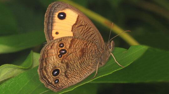 Some Butterflies Hear Through Their Wings