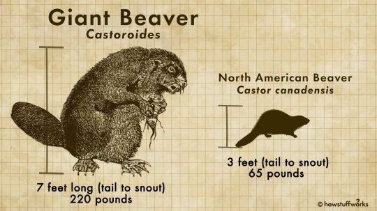 The Now-extinct Castoroides Was a Bear-sized Beaver