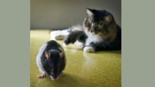 Contrary to Popular Opinion, Cats Are No Good at Catching Rats