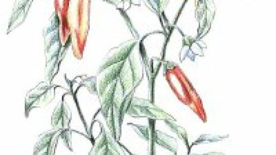 Cayenne Pepper: Herbal Remedies