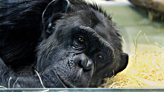 What happens to chimps used in medical research?