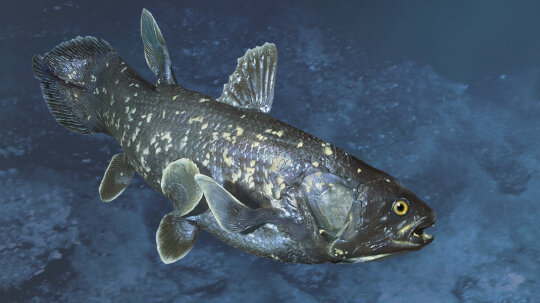 How the Coelacanth Works