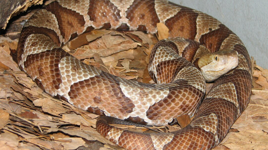Copperhead Snakes: Not Always Lethal, But Best Left Alone