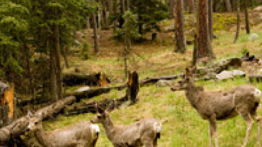 How is the deer population counted?
