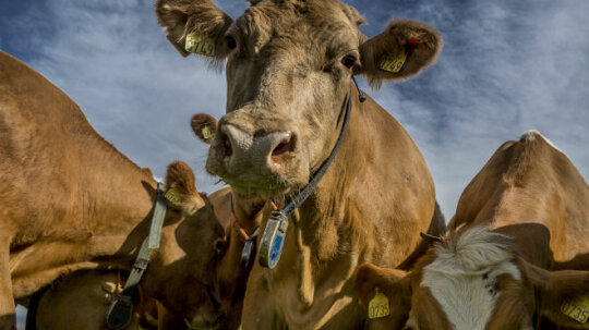 Do cows pollute as much as cars?