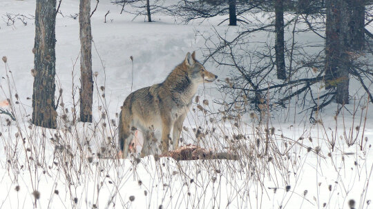 What Is a Coywolf?