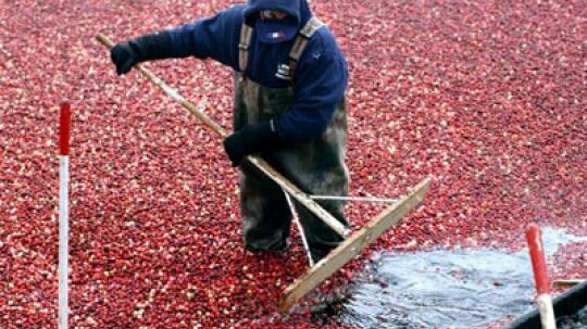 How Cranberry Bogs Work