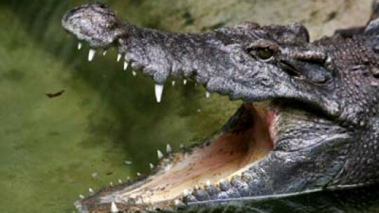 Did crocodiles descend from dinosaurs?