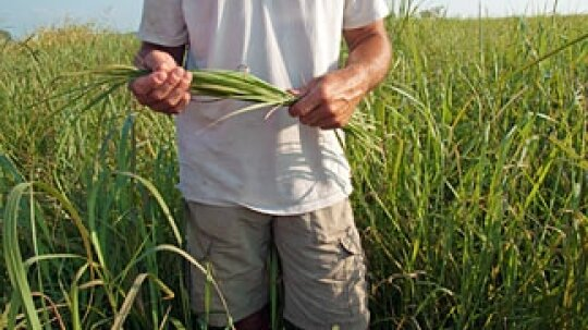 What crops can be used for biomass energy?