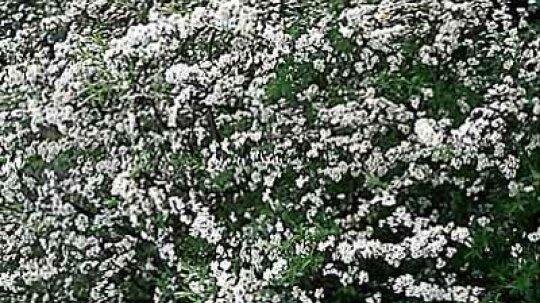 Bridal-Wreath