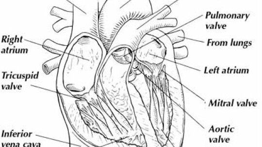 The Heart: Introducing One Tough Muscle