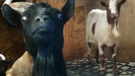 How Fainting Goats Work
