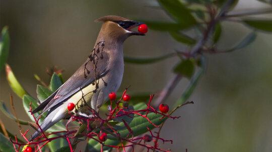 How Birds Get Berry, Berry Drunk
